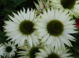 Echinacea P. Virgin