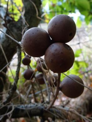 Oak Apple