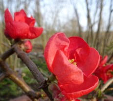 Japanese Quince Blossom