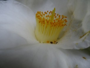 Crown (camelia)