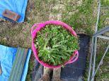Weed Harvest (very bountiful)