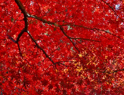 Hd Wallpaper Texture Fall Harvest Crimson Queen Japanese Maple Trees Growing Tips