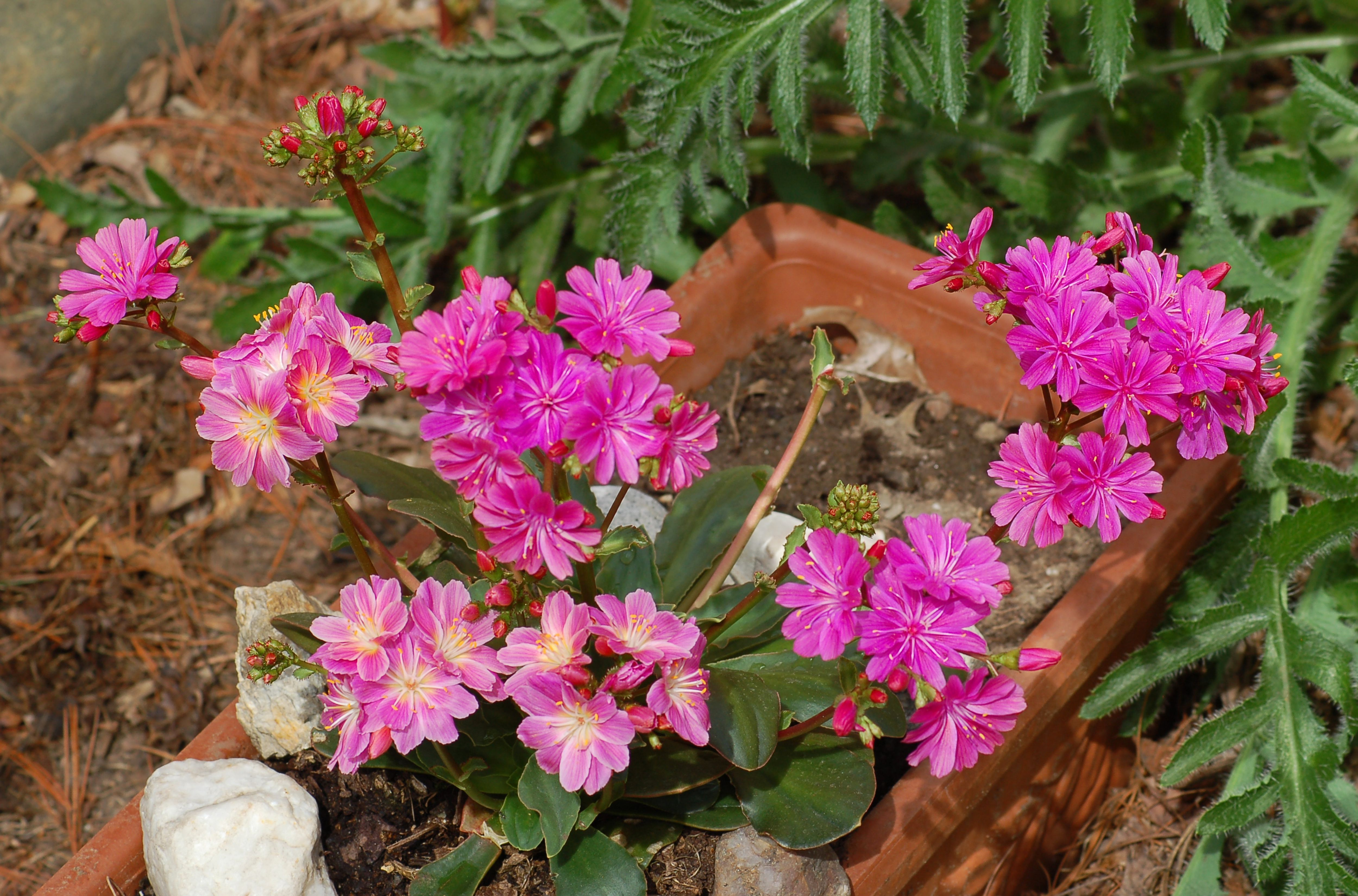 Lewisia Rainbow Of Flower Colors Place In History