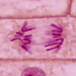 Onion Root Tip Diagram Pj Trailer Electric Brake Wiring Daughter Chromosome