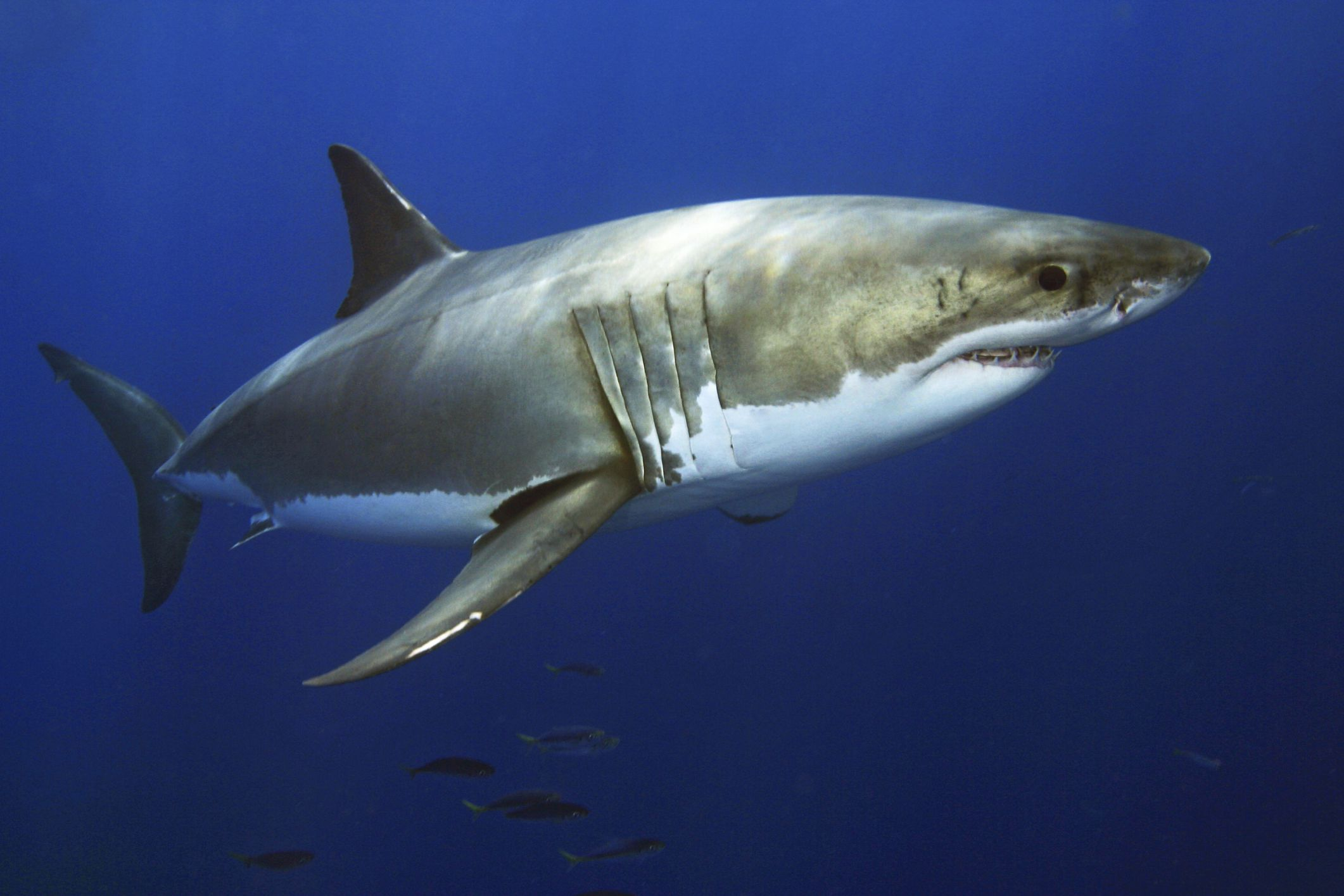 Fascinating Facts About Great White Sharks