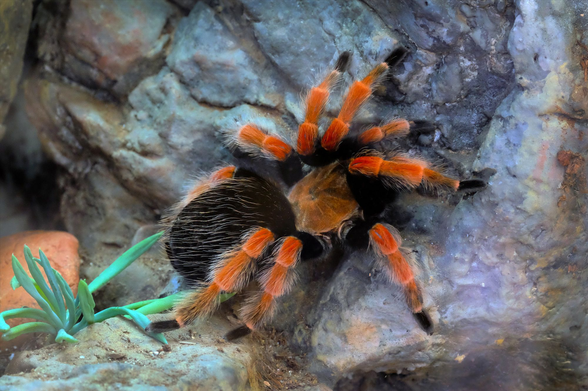 Mexican Bird Red Knee Spider Eating