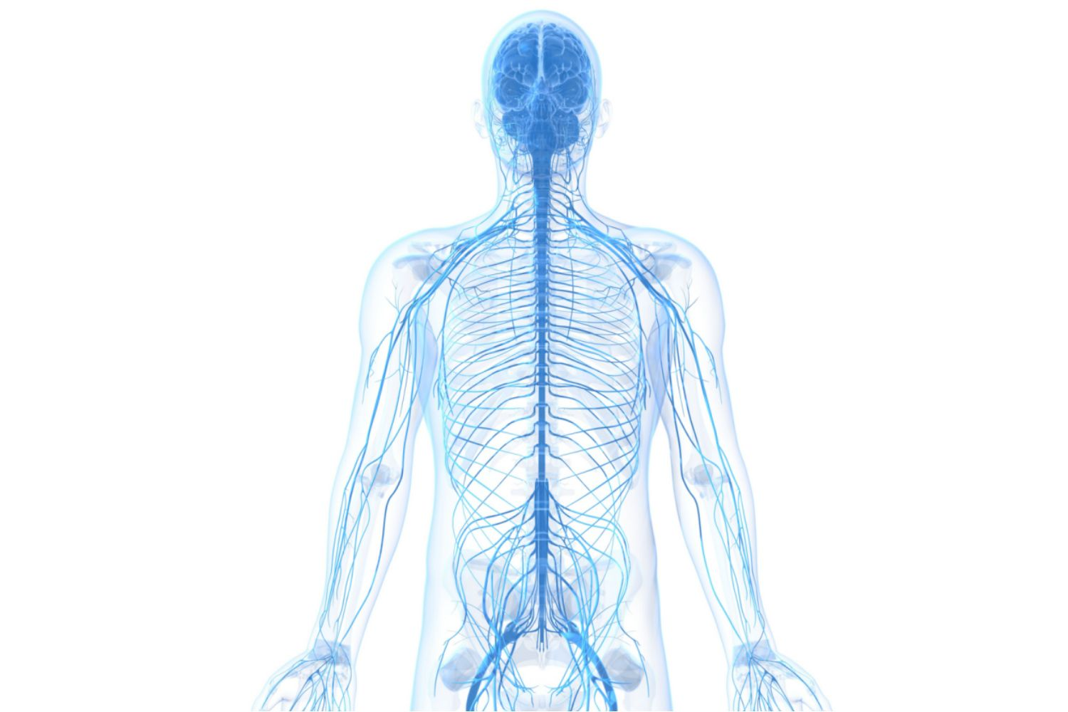 Learn About The Peripheral Nervous System