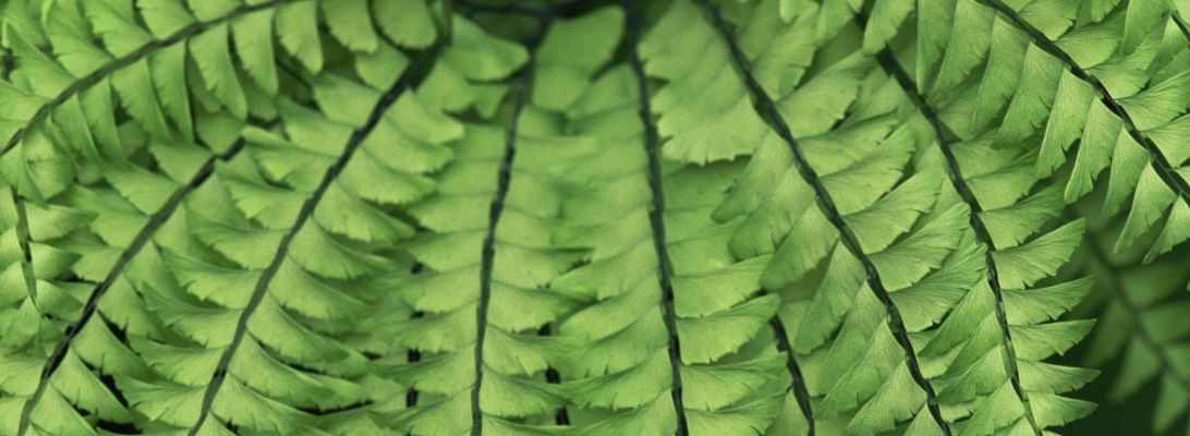 Tips For Growing Maidenhair Adiantum Ferns At Home