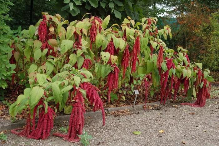 Planta de kiwicha