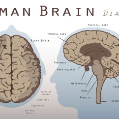 Human Brain Diagram Cerebrum Draw For Homes Mesencephalon Midbrain Function And Structures