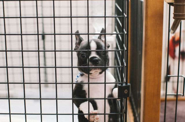 Boston Terrier dog in crate