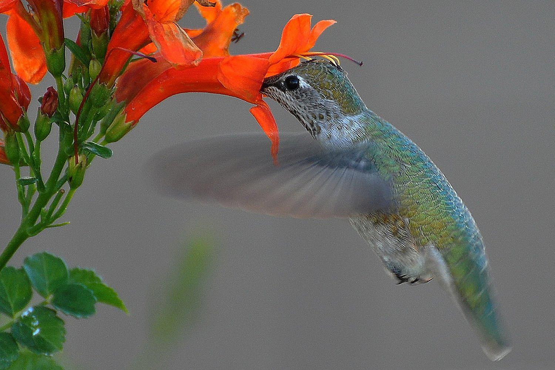 Hummingbirds and Pollination