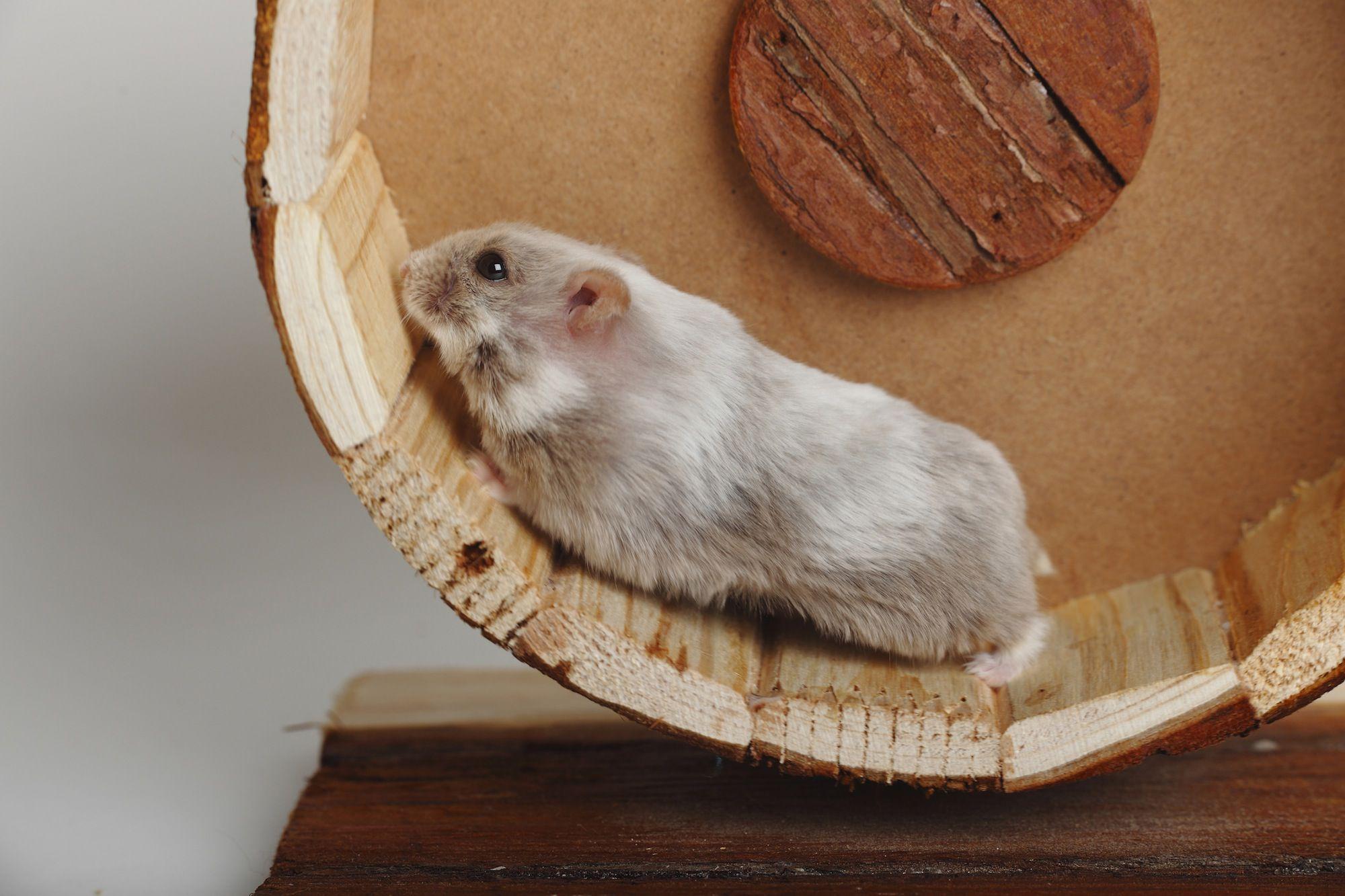 Dwarf Campbells Russian Hamsters  Exotic Pets