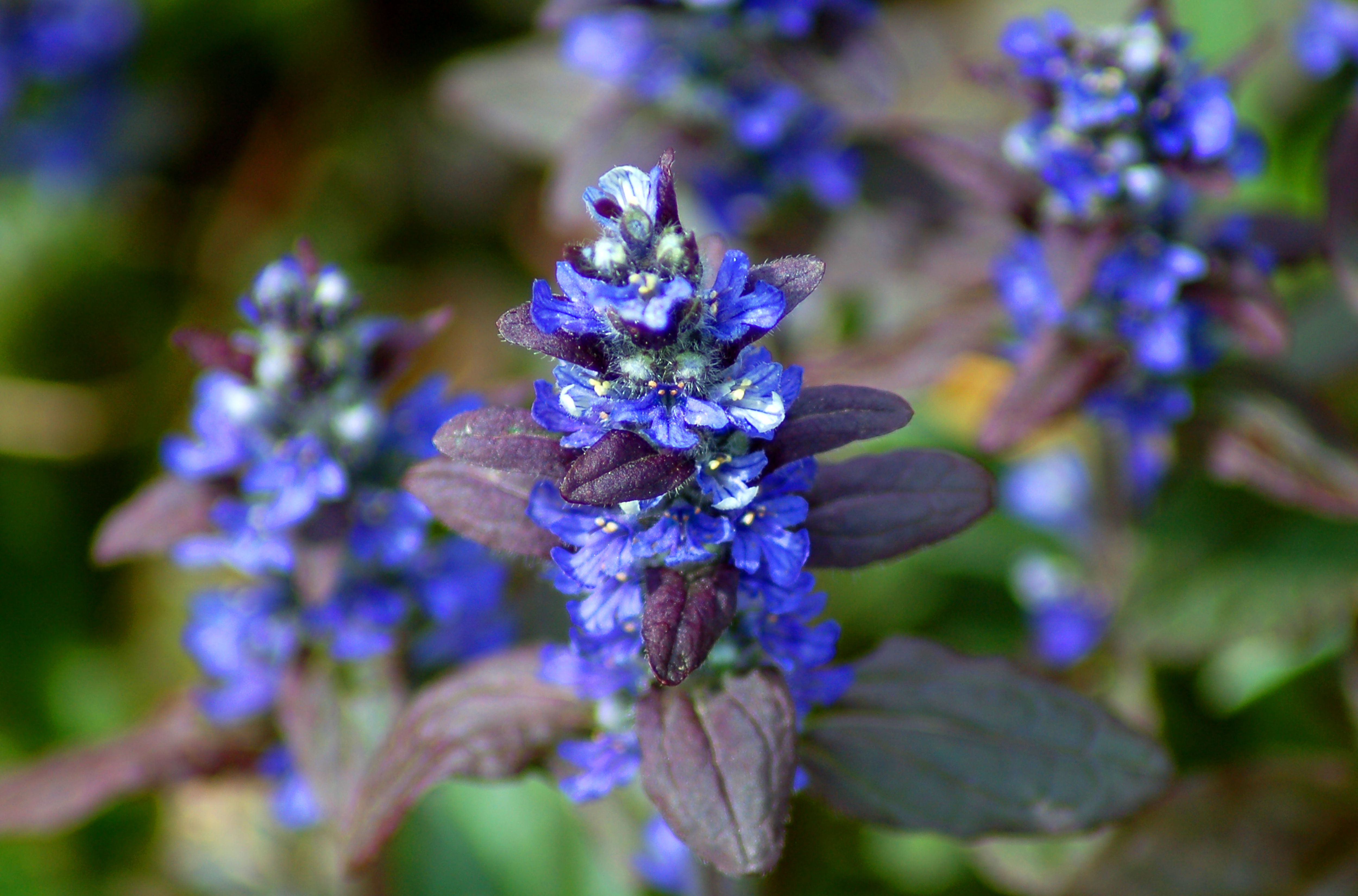 Ajuga Ground Cover Bugleweed Plants Too Loud in a Yard