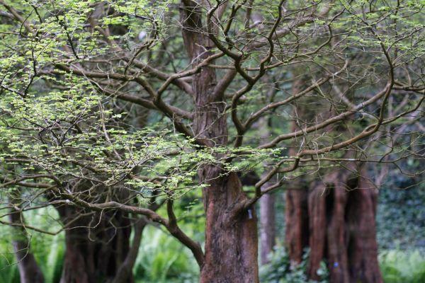 growing dawn redwood tree