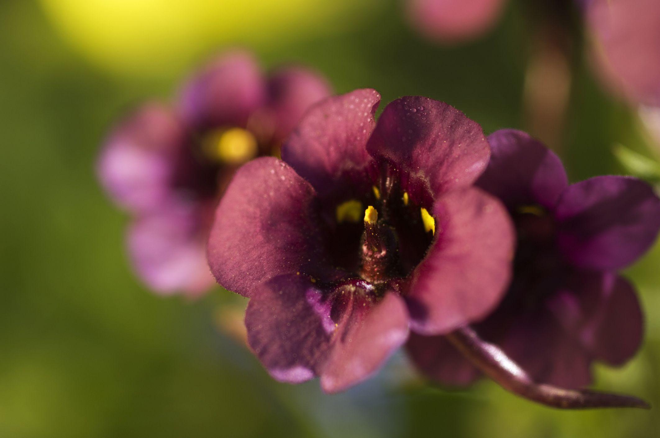 Diascia  a Trailing Flower That Blooms All Season