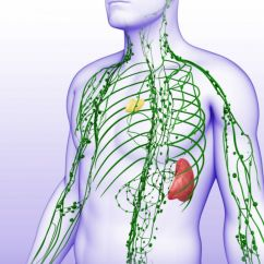 Diagram Location Lymph Nodes Trigeminal Nerve Lymphatic System Components - Spleen, Thymus,
