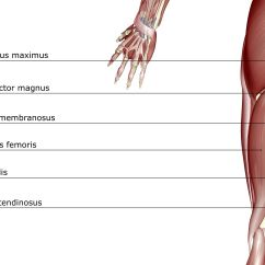 Gluteus Muscles Diagram Pain Condenser Fan Wiring What Are The Hamstring