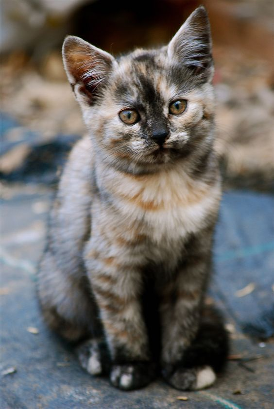 About Tortoiseshell Cats History and Markings