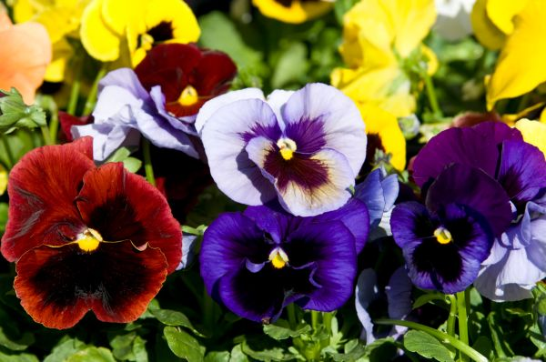 Pretty And Unusual Pansy Varieties