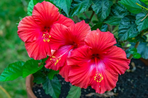 grow hibiscus in pots
