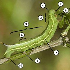 Parts Of A Butterfly Diagram Horn Wiring K5 The Caterpillar