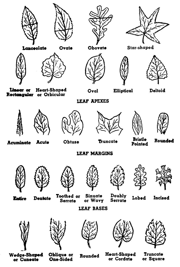 Use Tree Parts to Identify a Tree