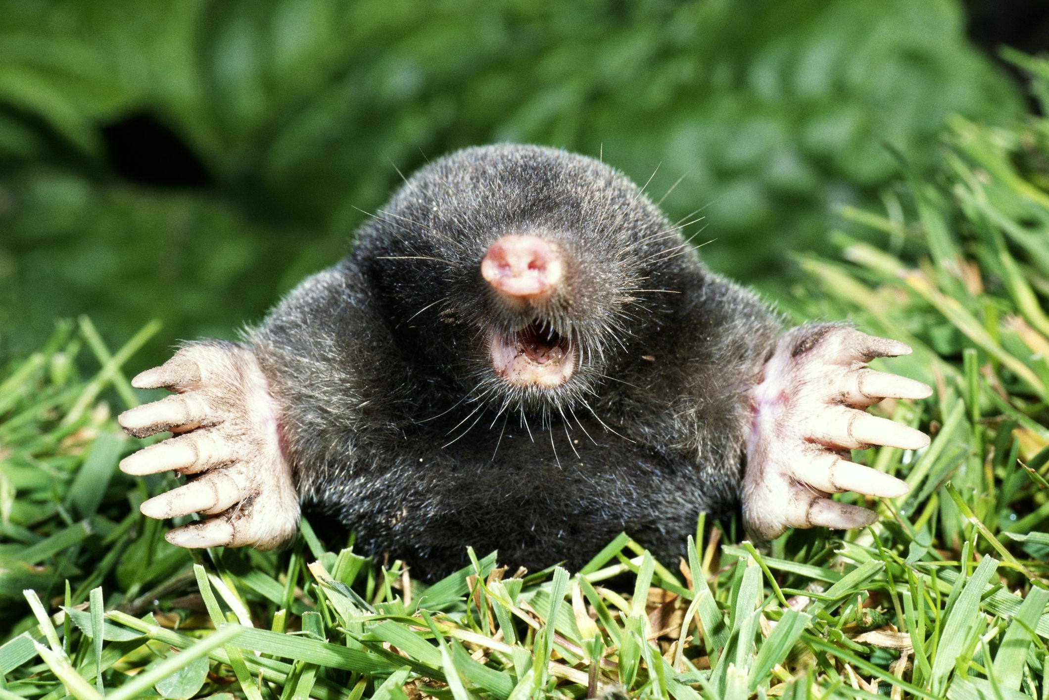 What Is A Vole As Compared To A Mole?