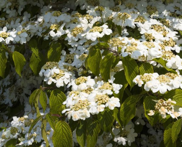 viburnums ideal flowering shrubs