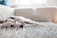 Remove Pet Stains and Odors from Clothes and Carpet