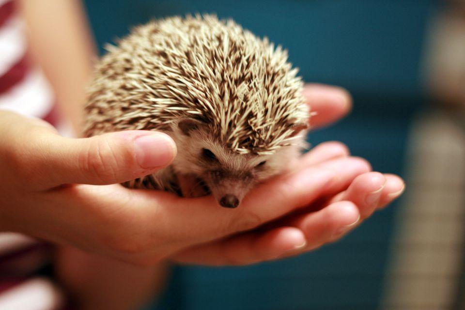 Hedgehog Teeth Hedgehog Tooth Diseases Hedgehogs