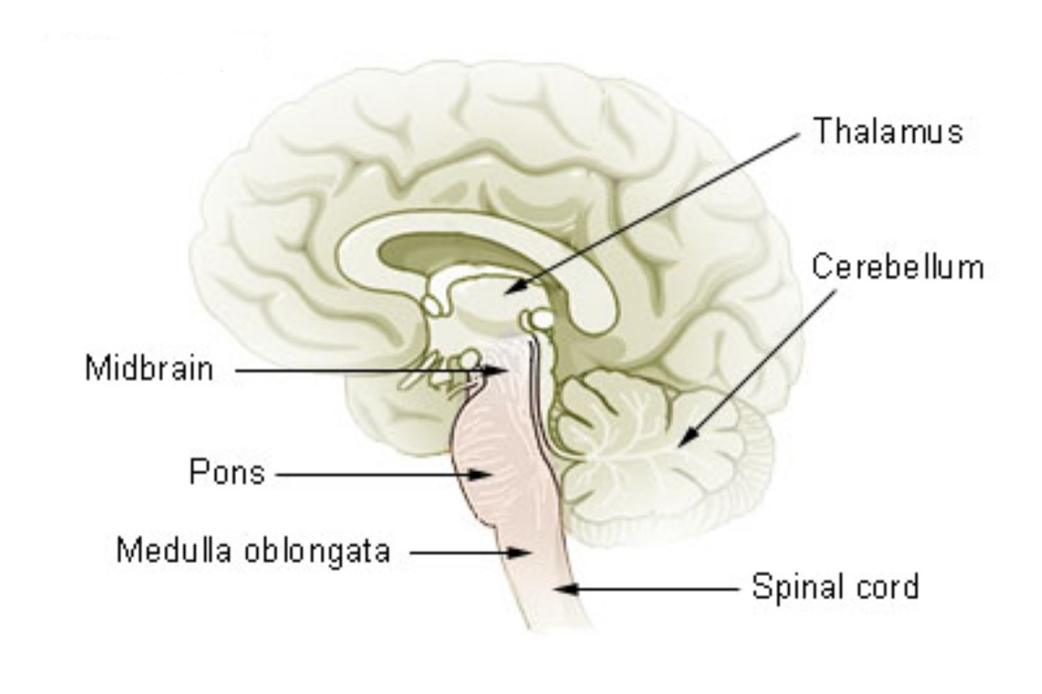brain diagram pons how to draw a cell mesencephalon midbrain function and structures