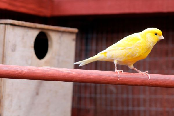 Pet Canaries - Canary Pets Caring