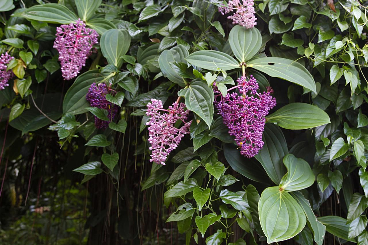 Medinilla Tropical Flower Overview