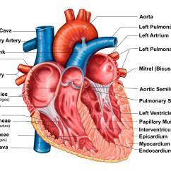 Interior Heart Diagram Toyota 1jz Vvti Wiring Transcatheter Aortic Valve Replacement Tavr Procedure