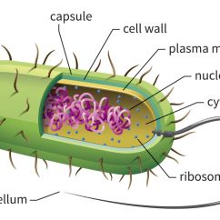 Prokaryotic Cell Diagram 2003 Gm Radio Wiring Learn About Cells