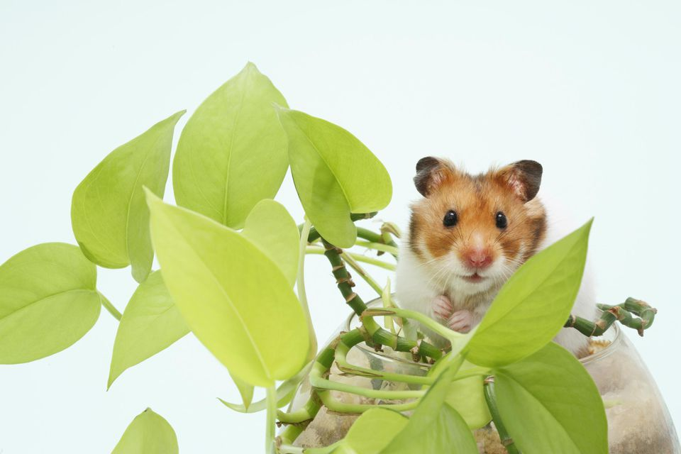 Profile Of Syrian (a.k.a. Golden) Hamsters