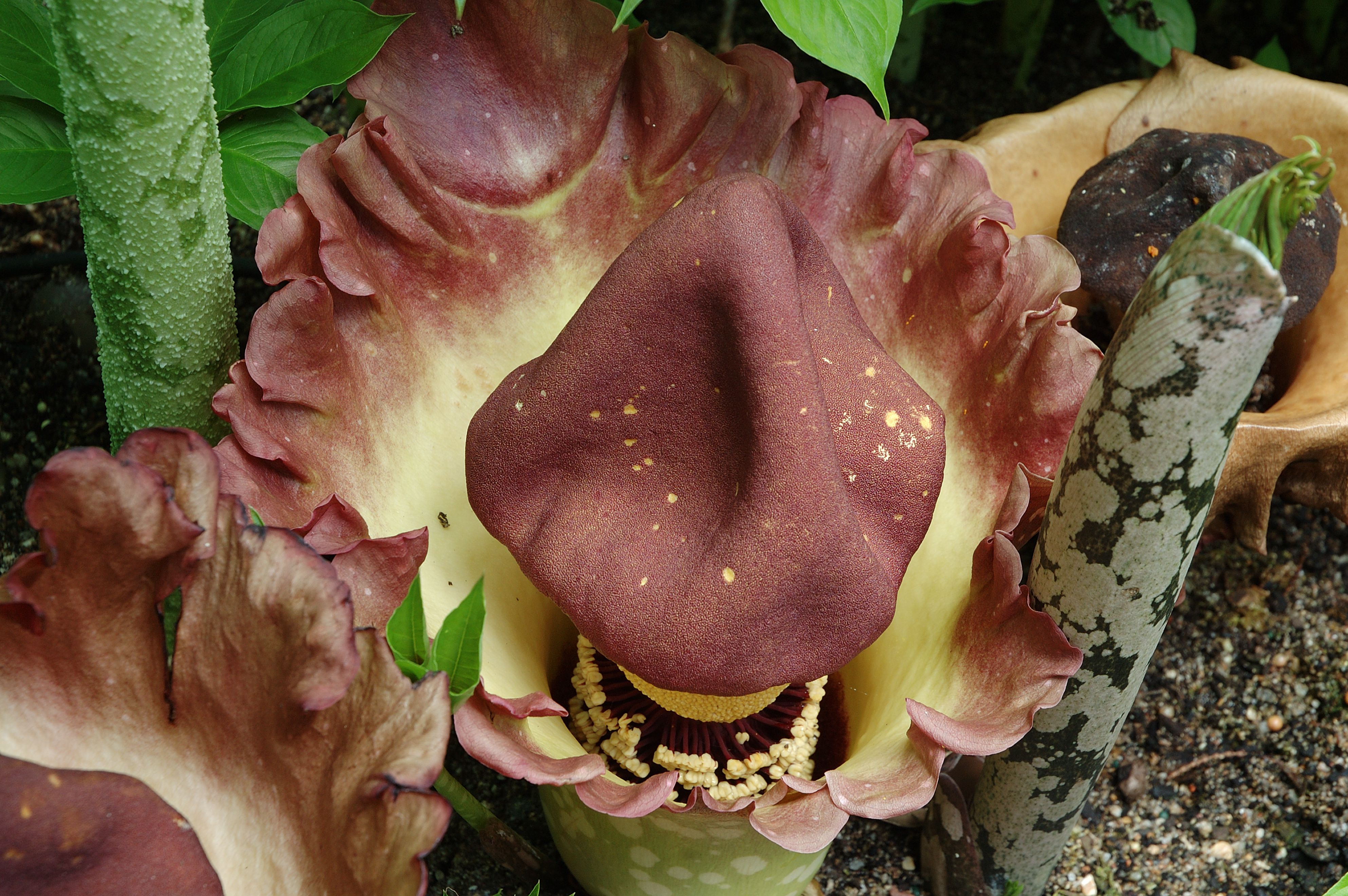 How to Grow and Care for the Voodoo Lily