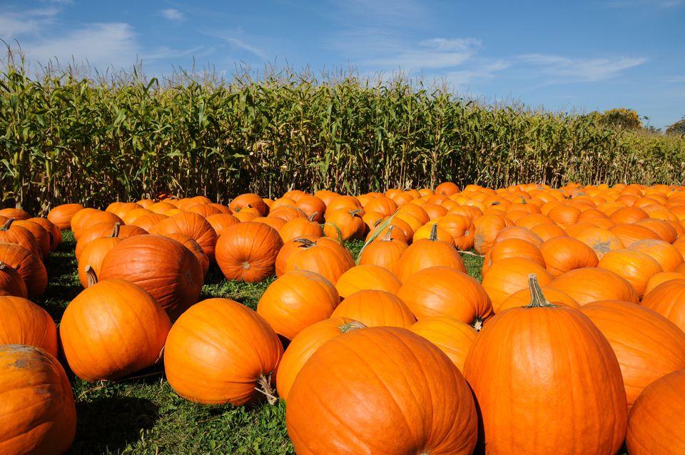 Fall Pumpkin Patch Wallpaper Pumpkin Farms Near Toronto