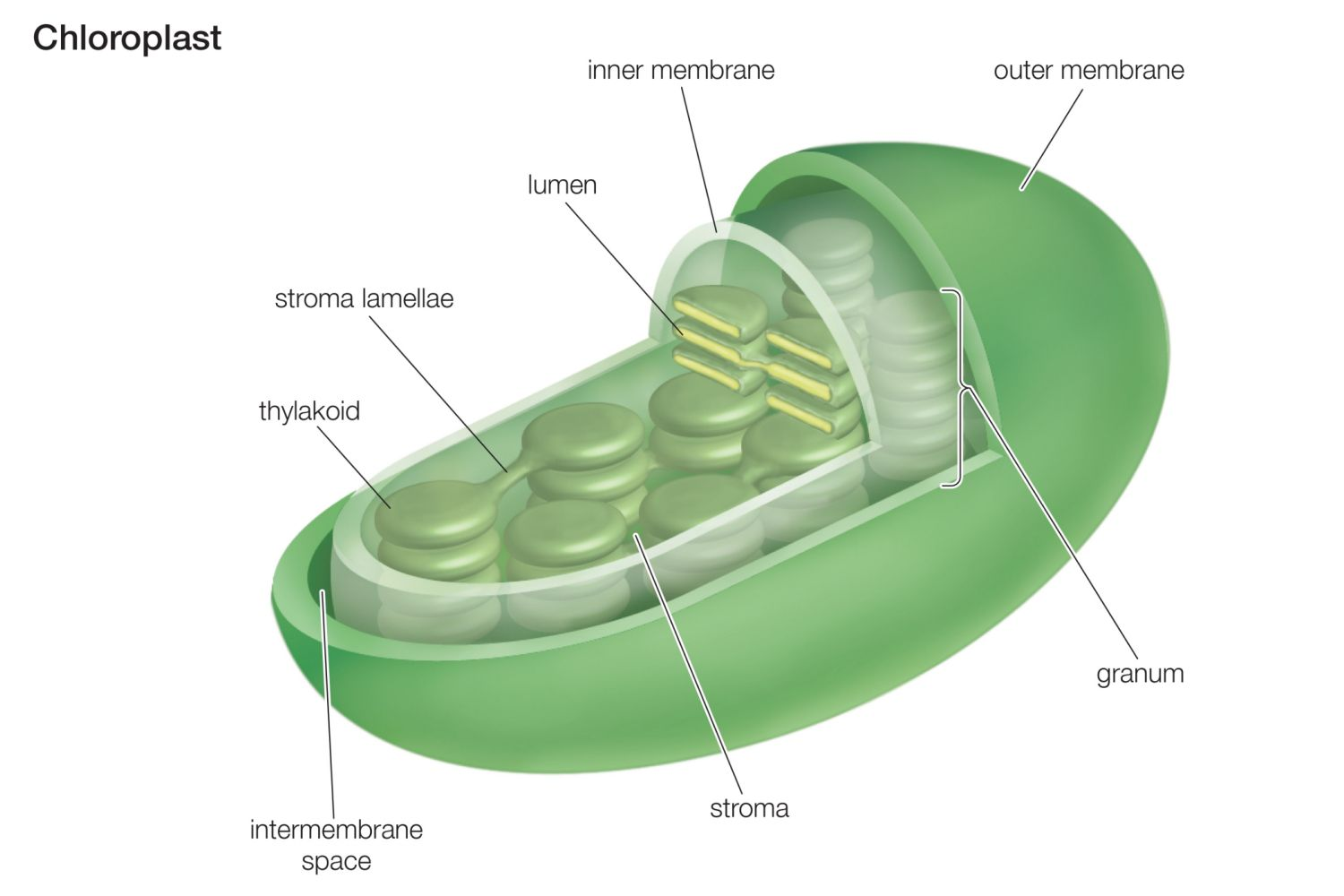 blank chloroplast diagram vw t1 wiring function in photosynthesis
