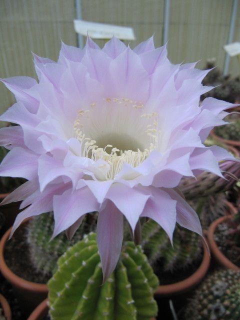 Growing Echinopsis Sea Urchin Cactus Indoors
