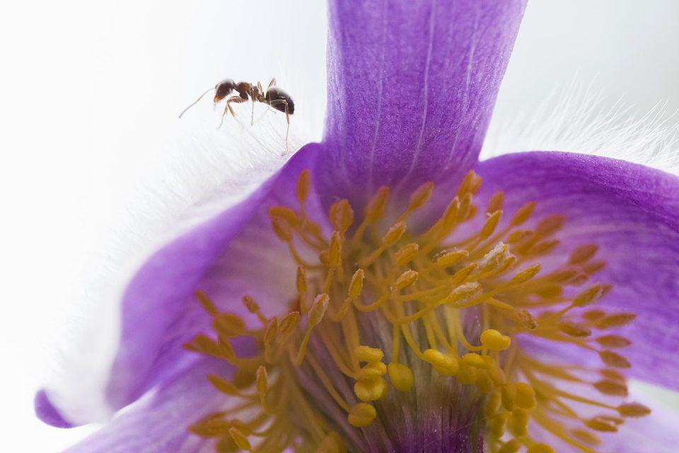 Ants on Flowers