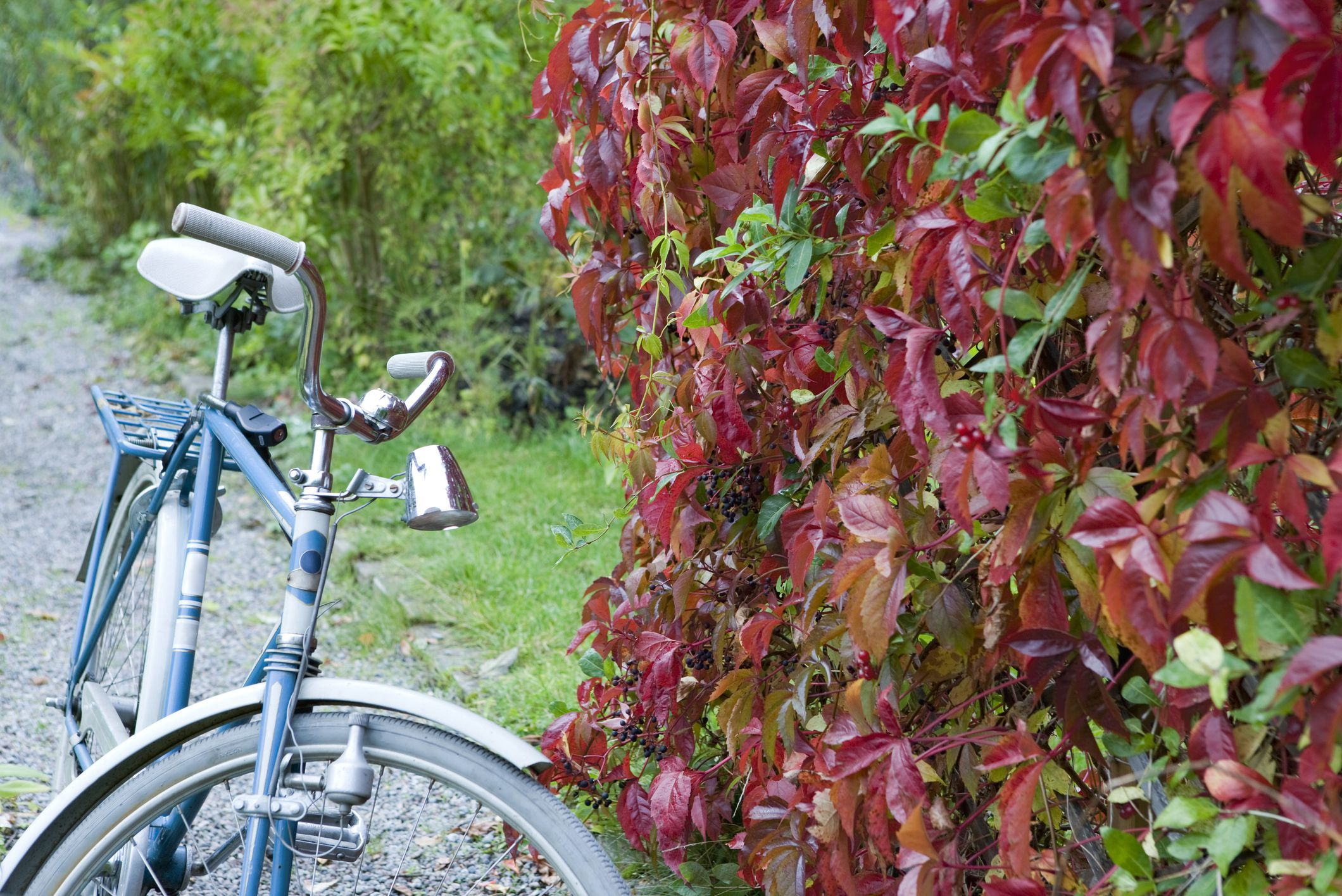 Virginia Creeper Tips for Killing a Poisonous Vine