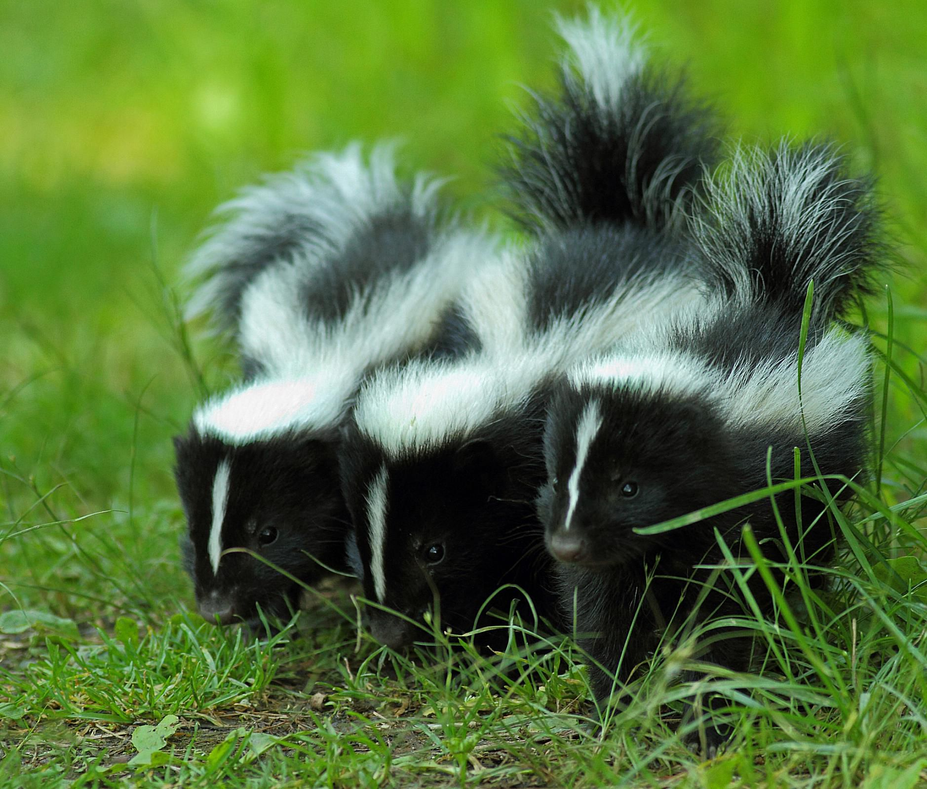 What to Do If Your Pet Is Sprayed by a Skunk