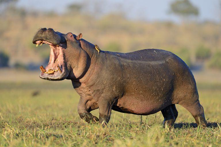 10 Essential Hippopotamus Facts
