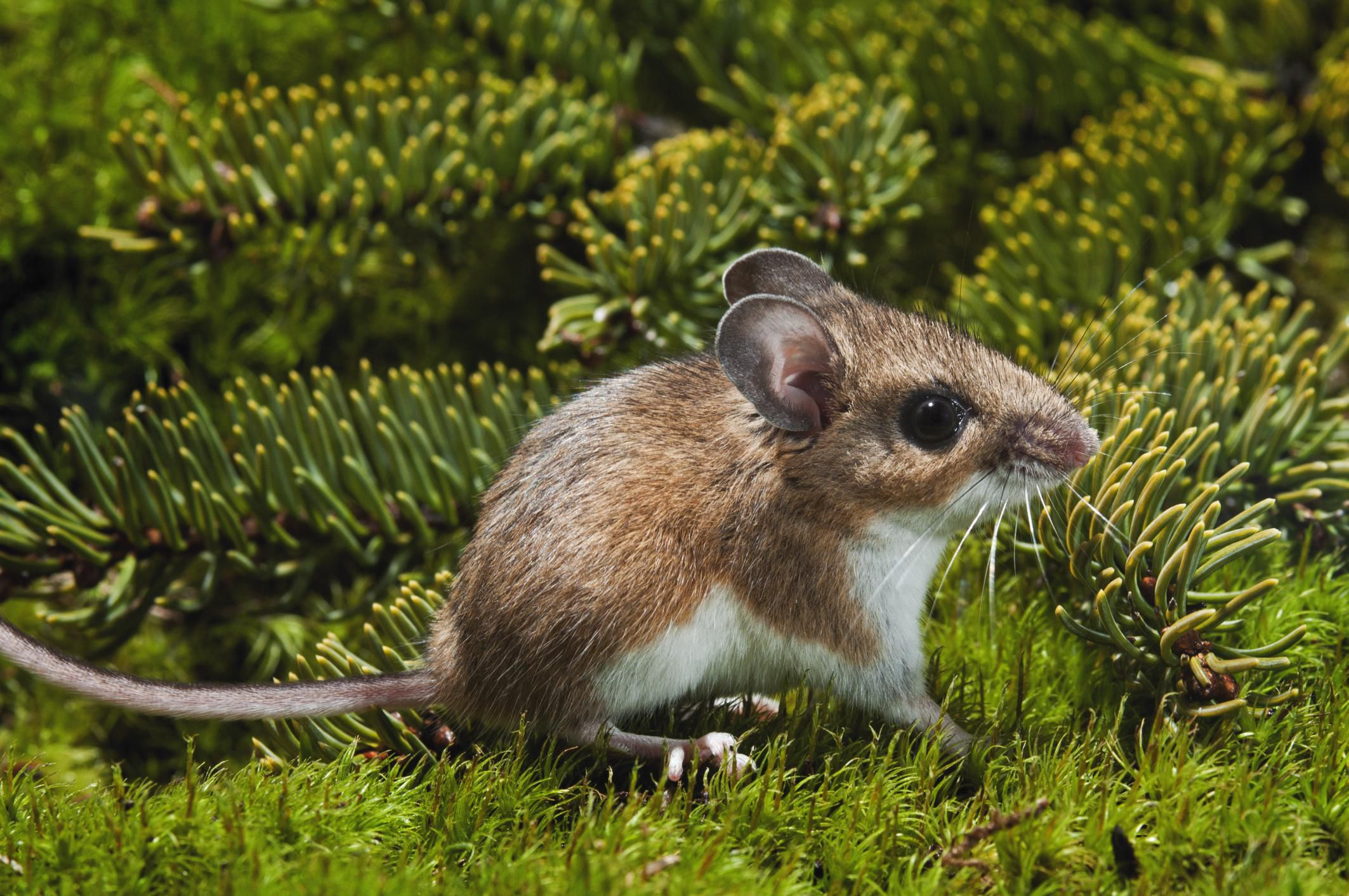 Deer Mice And Other Disease Carrying Mice Can Be Deadly