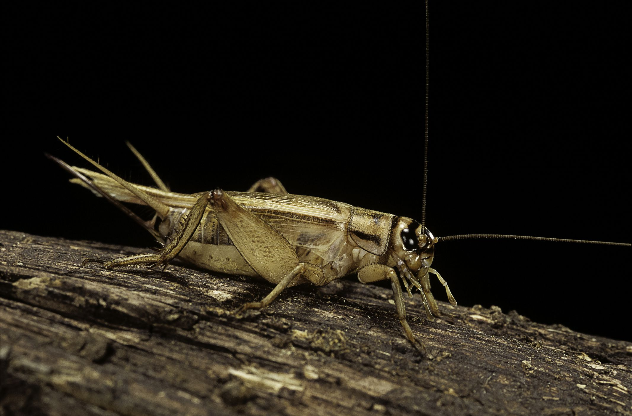 House Crickets Chirping