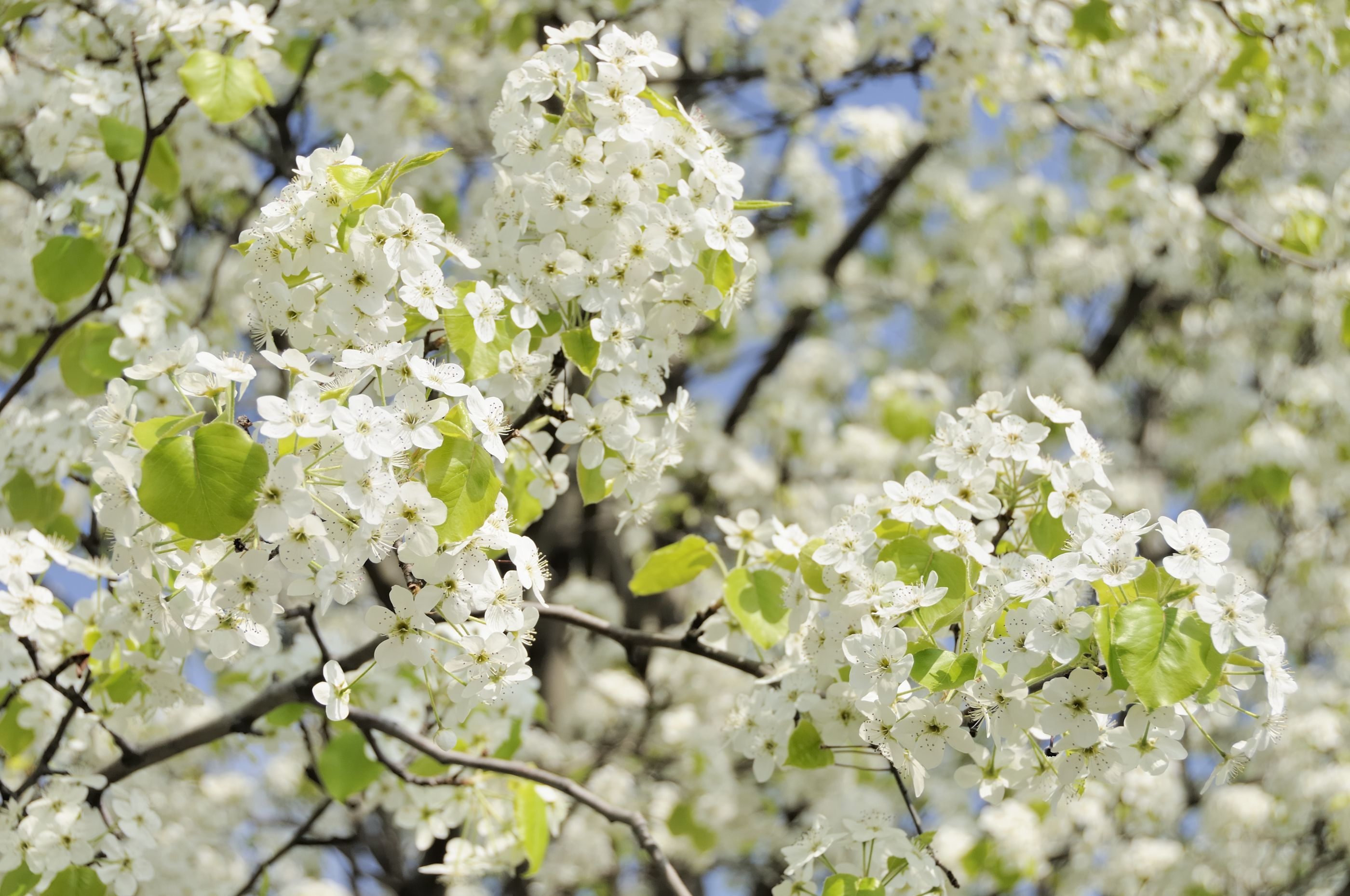 how to prune an apple tree diagram 3 phase electric heater wiring care for bradford pear trees solving problems