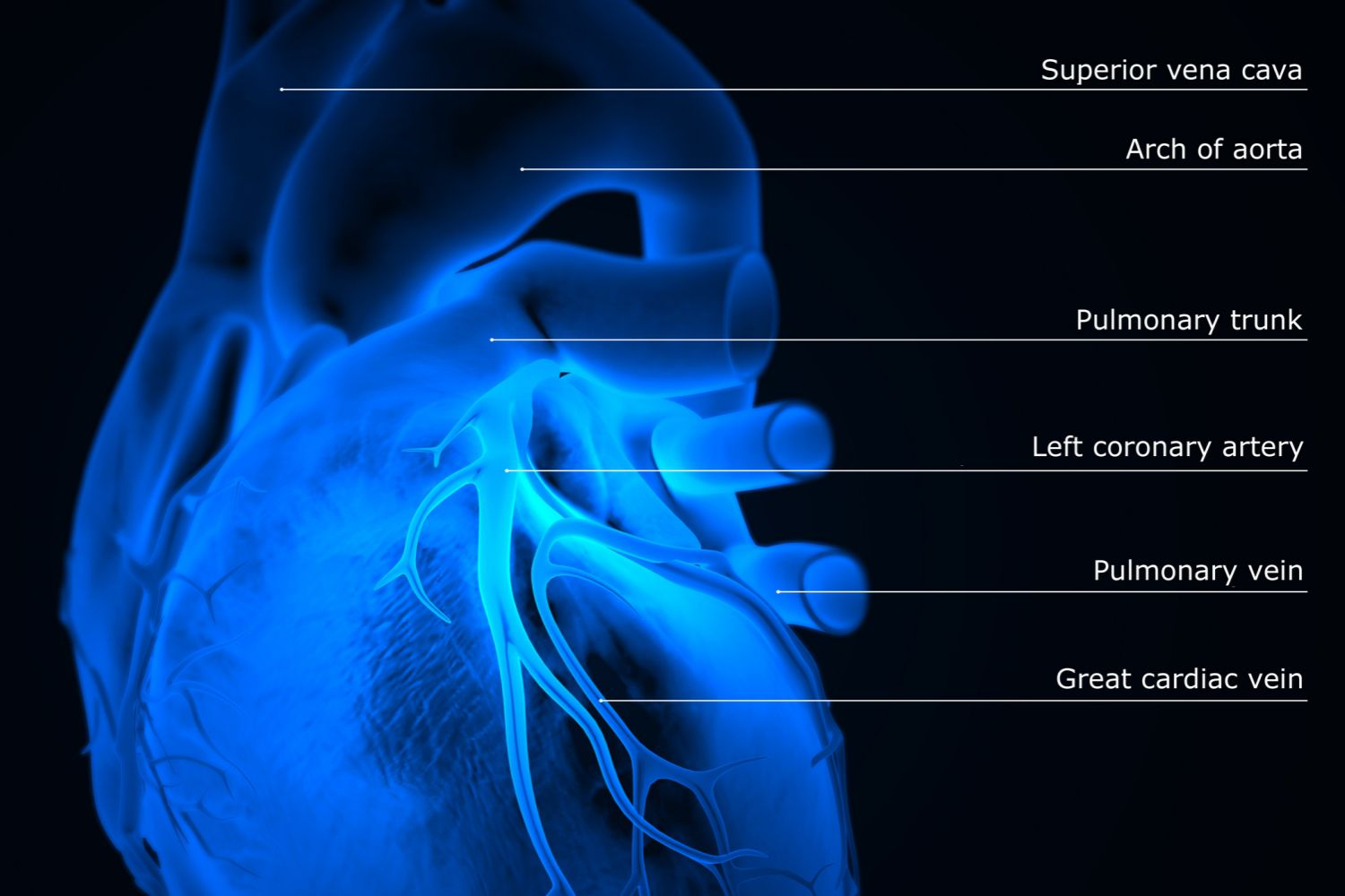 How The Main Pulmonary Artery Delivers Blood To The Lungs