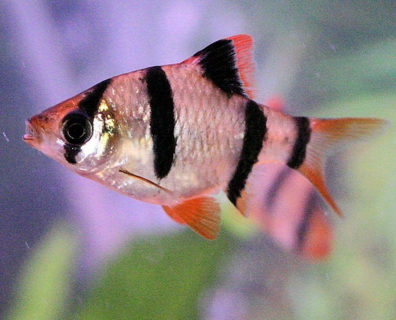 Tiger Barb  Barbus Tetrazona